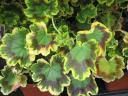 geranium2.jpg