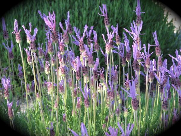 1st-lavender.jpg