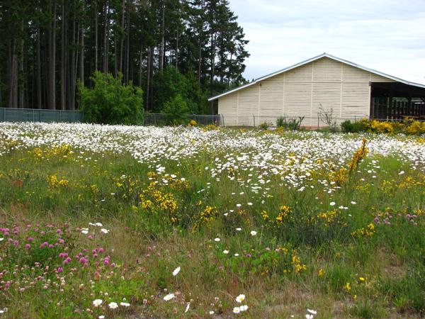 wild-daisys.jpg