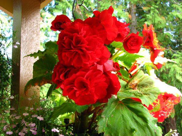 redbegonias.jpg