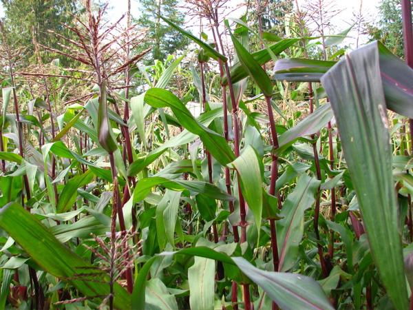 corncrop.jpg