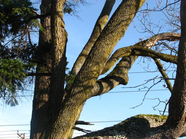 oldtrees.jpg