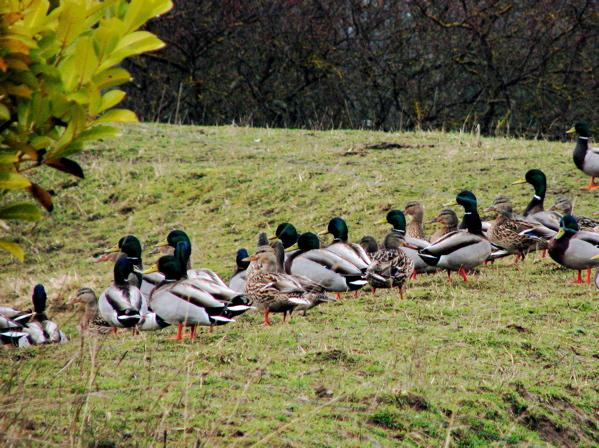 ducks1.jpg