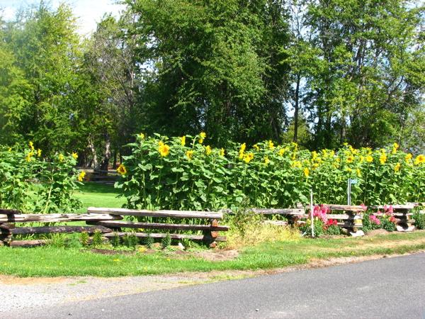 sunflowers-on-macley.jpg