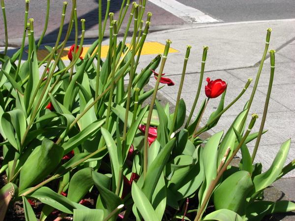 tulipless.jpg