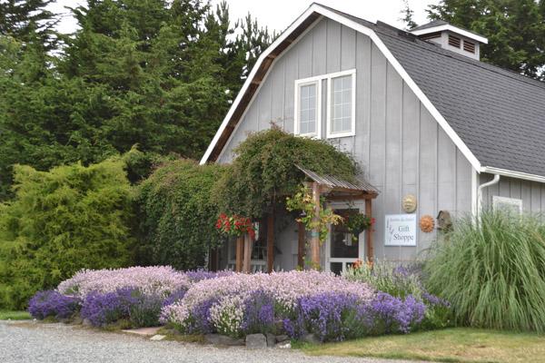 purple haze lavender sequim sequim daily photo. Black Bedroom Furniture Sets. Home Design Ideas