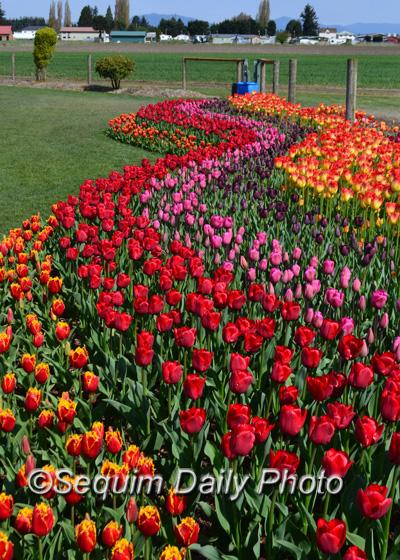 Skagit Valley Tulip Festival Sequim Daily Photo - Holland tulip festival
