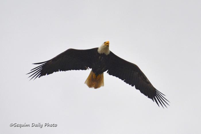 Eagle face 4