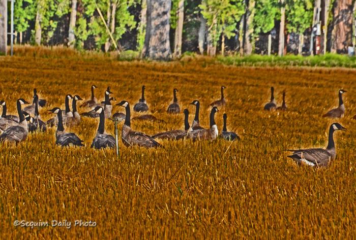 Field geese